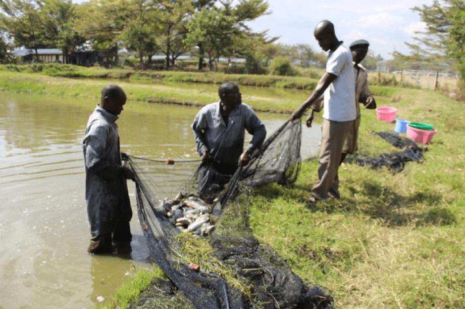 Evergreen Community Group in Siaya, harvesting fish in 2018